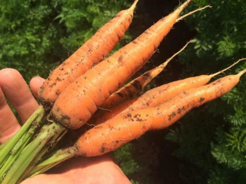 Juuret puhtaassa maassa / Roots in pure and living soil