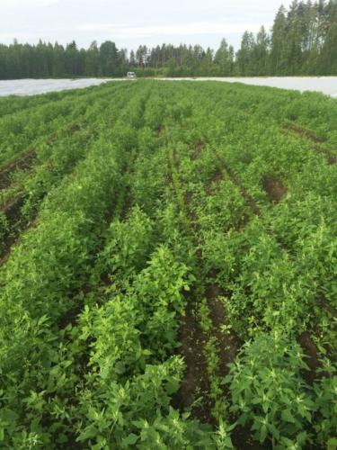 Kitkemätöntä riviä / Unweeded carrot rows