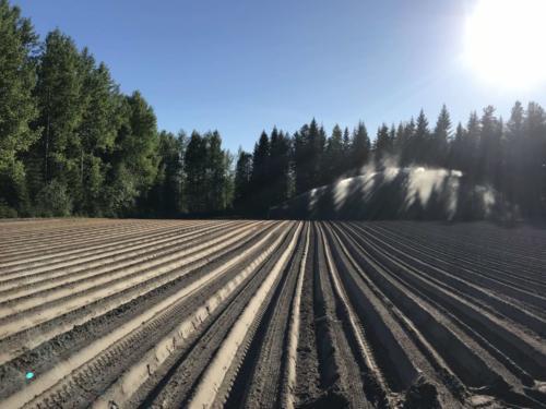 Palsternakkakylvöksen sadetus / Irrigation of parsnip