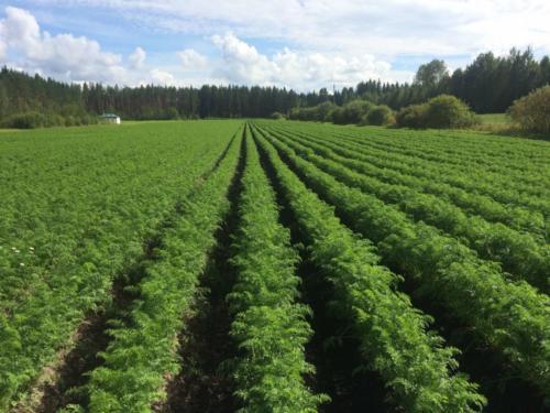 Penkkirivit 2016 / Dense carrot rows 2016