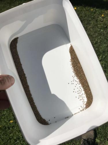 Porkkanan siementä / Carrot seeds
