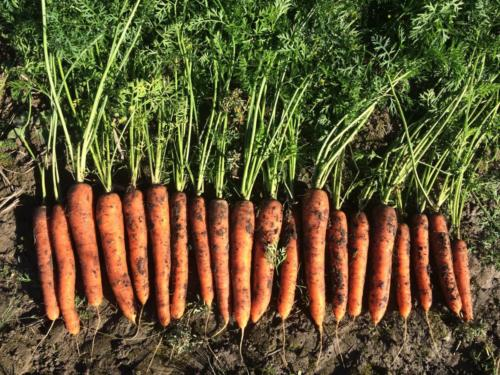 Vuoden 2016 porkkanasatoa / Year 2016 crop
