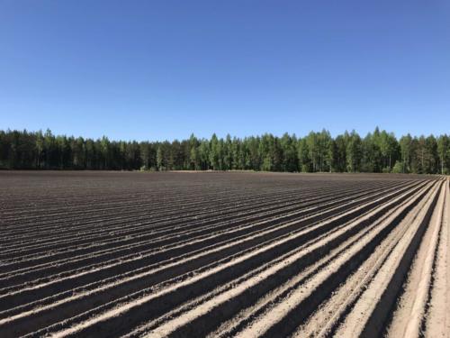 Valmista penkkirivistöä / Set up carrot rows